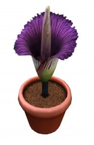 plantcorpseflower_titanarum_